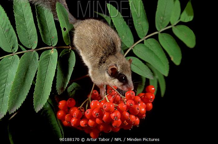Forest dormouse (Dryomys nitedula) feeding on Rowan berries, Poland  -  Artur Tabor/ npl