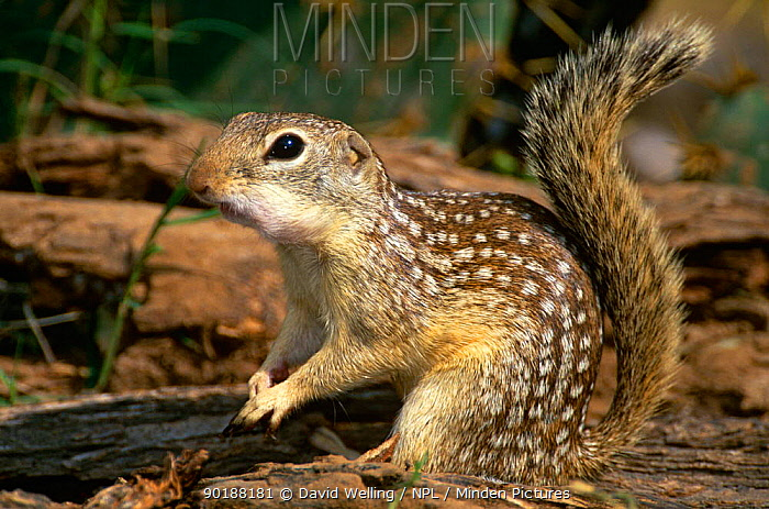 Mexican ground squirrel (Spermophilus mexicanus), South Texas, USA  -  David Welling/ npl