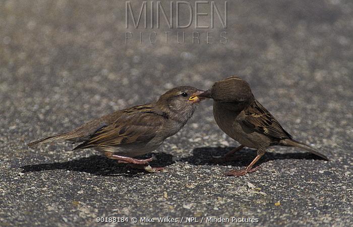 Common sparrow feeding chick (Passer domesticus) Warwickshire, UK  -  Mike Wilkes/ npl