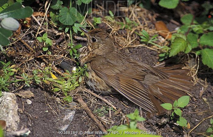 Song thrush sunning (Turdus philomelos) UK  -  Mike Wilkes/ npl