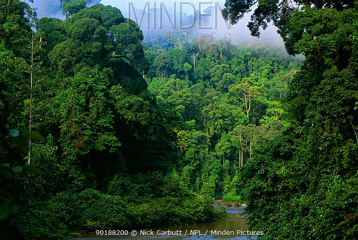 Early morning mist over lowland rainforest, Danum valley, Sabah, Borneo, Malaysia  -  Nick Garbutt/ npl