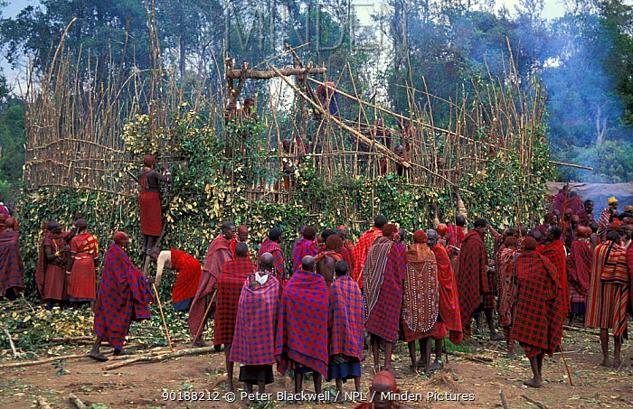 Masai tribesmen erecting O-shingira house, Eunoto ceremony, Mara, Kenya  -  Peter Blackwell/ npl