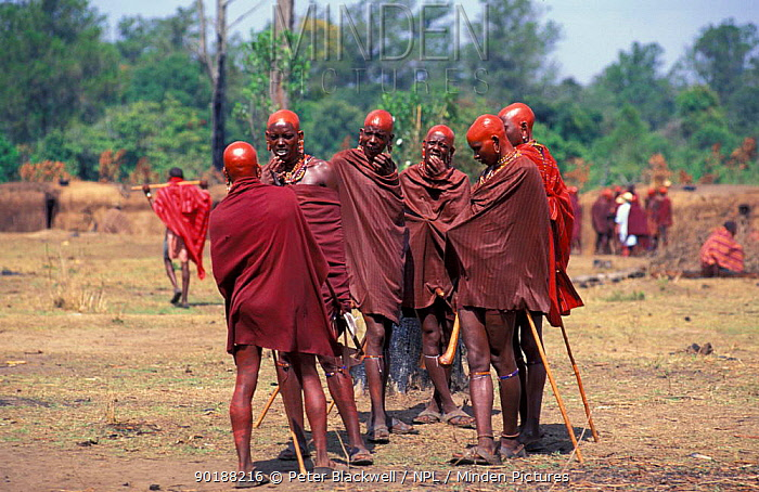 Group of Maasai warriors with shaved heads shiny with ochre at Eunoto ceremony, Masai, Kenya  -  Peter Blackwell/ npl