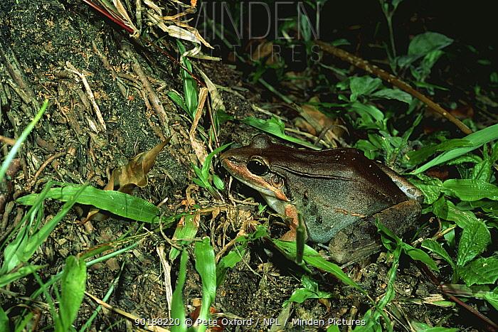 Frog on tropical rainforest floor (Leptodactylus bolivianus) Manu NP, Peru  -  Pete Oxford/ npl