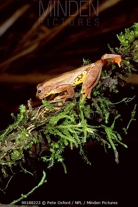 Treefrog climbing (Hyla carnifex) Cloud forest, Ecuador  -  Pete Oxford/ npl