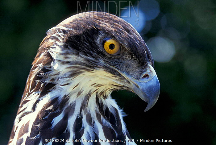 African hawk eagle head portrait (Hieraaetus spilogaster) Zimbabwe, Africa  -  John Downer/ npl