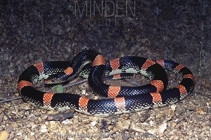 Sinaloan long nosed snake (Rhinocheilus lecontei antonii) Sonora, Mexico  -  Barry Mansell/ npl