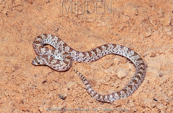 Chihuahuan hook nosed snake (Gyalopion canum) Texas, USA  -  Barry Mansell/ npl