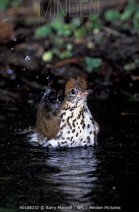 Woodthrush bathing (Hylocichla mustelina) Texas, USA  -  Barry Mansell/ npl