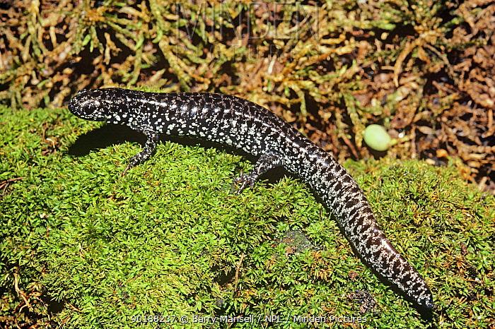 Flatwoods salamander (Ambystoma cingulatum) on moss, Florida, USA  -  Barry Mansell/ npl