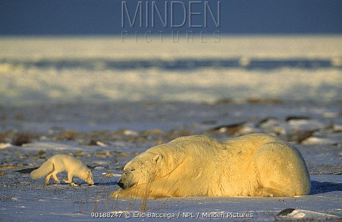 Polar bear (Ursus maritimus) and Arctic fox (Vulpes lagopus) Churchill, Manitoba  -  Eric Baccega/ npl
