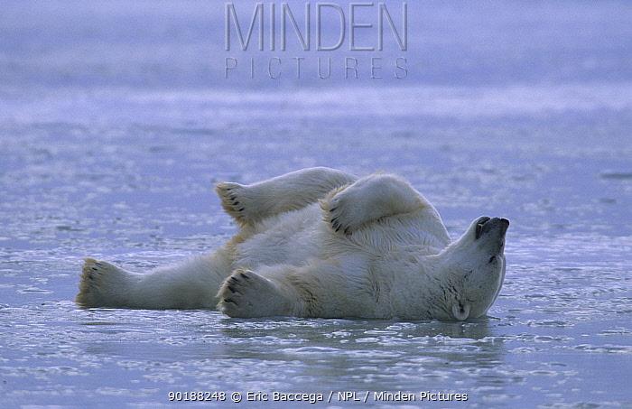 Polar bear rolling on ice (Ursus maritimus) Churchill, Manitoba  -  Eric Baccega/ npl
