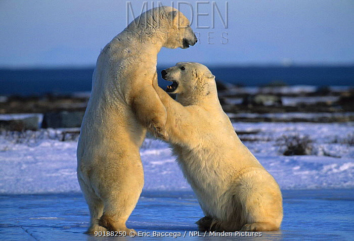 Two Polar bears play fighting (Ursus maritimus) Churchill, Manitoba  -  Eric Baccega/ npl
