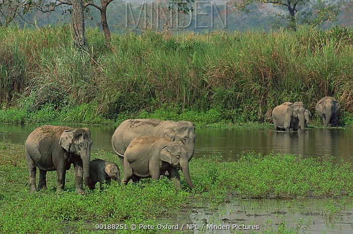 Wild Asian elephant herd feeding in wetlands (Elephas maximus) Kaziranga NP, Assam, India  -  Pete Oxford/ npl