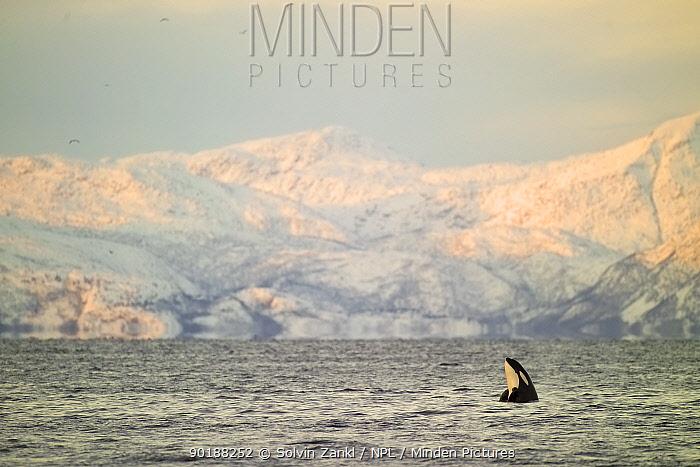 Killer whale calf spyhopping (Orcinus orca) Lofoten mtns, Norway  -  Solvin Zankl/ npl