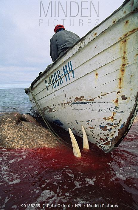 Dead Walrus (Odobenus rosmarus) killed by Yupik Eskimos Russia  -  Pete Oxford/ npl