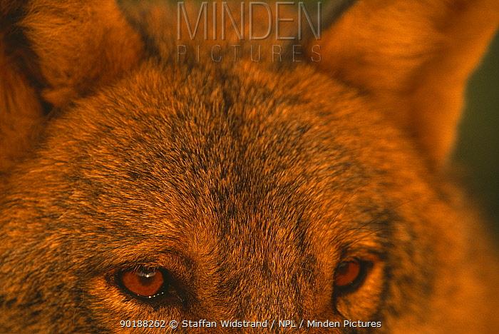 European grey wolf portrait (Canis lupus) captive Transsylvania, Romania  -  Staffan Widstrand/ npl