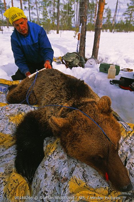Bear researcher at work, Brown bear (Ursus arctos) Dalarna, Sweden  -  Staffan Widstrand/ npl