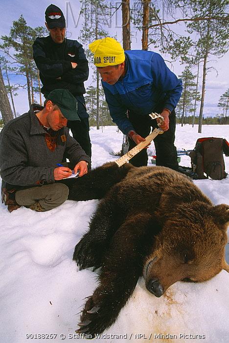 Bear researchers at work, Brown bear (Ursus arctos) Dalarna, Sweden  -  Staffan Widstrand/ npl