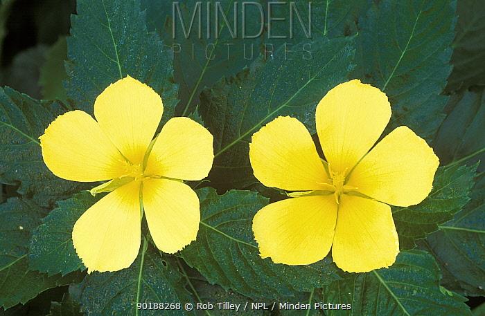 Dwarf allamanda flowers (Allamanda carthatica)  -  Rob Tilley/ npl