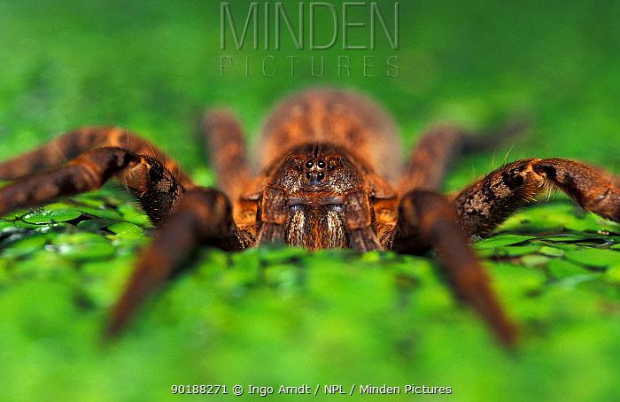 Fishing Spider (Ancylometes bogotensis) on pond weed, French Guyana  -  Ingo Arndt/ npl