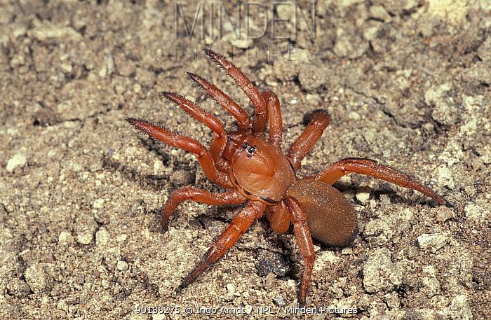Trapdoor spider (Gorgyrella inermis) French Guyana  -  Ingo Arndt/ npl