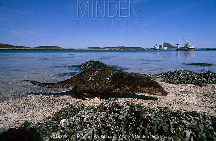 Europen river otter on shoreline (Lutra lutra) Norway  -  Michael W. Richards/ npl