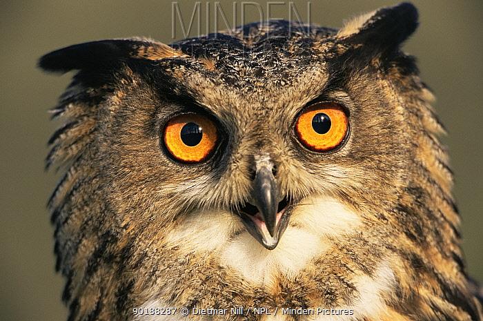 Eagle owl portrait (Bubo bubo) captive, Germany  -  Dietmar Nill/ npl