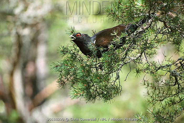 Capercaillie male feeding on Scots pine tree (Tetrao urogallus) Scotland, UK  -  Chris Gomersall/ npl
