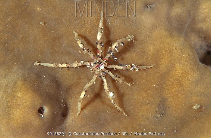 Sea spider (Pycnogonida) on sponge, Sulawesi, Indonesia  -  Constantinos Petrinos/ npl