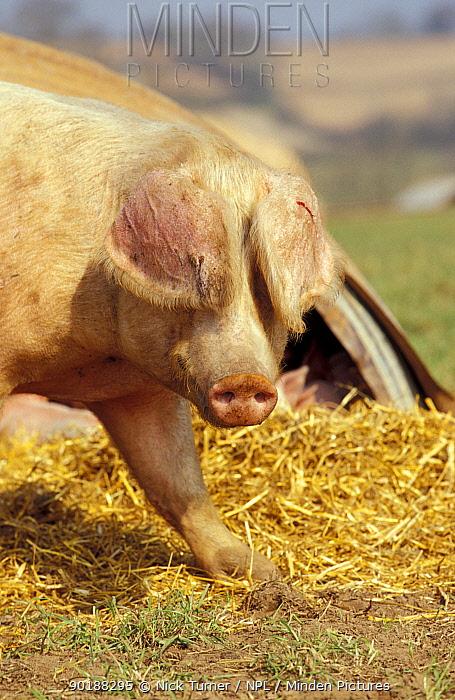 Domestic pig on free range pig farm (Sus scrofa domestica) UK  -  Nick Turner/ npl