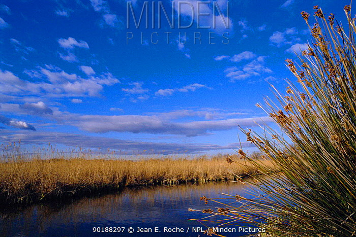 Reed beds, Vigueirat marshes, Camargue, France  -  Jean E. Roche/ npl