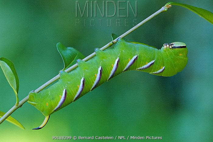 Privet hawk moth caterpillar (Sphinx ligustri) Belgium  -  Bernard Castelein/ npl