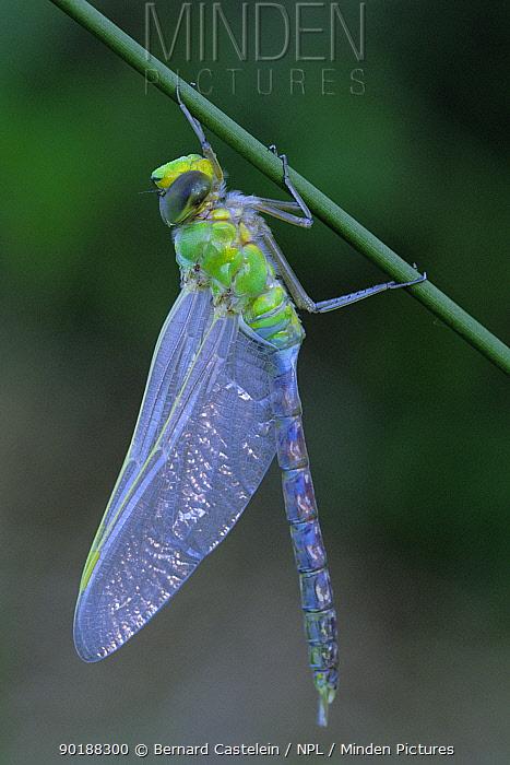 Emperor dragonfly (Anax imperator) Brasschaat, Belgium  -  Bernard Castelein/ npl