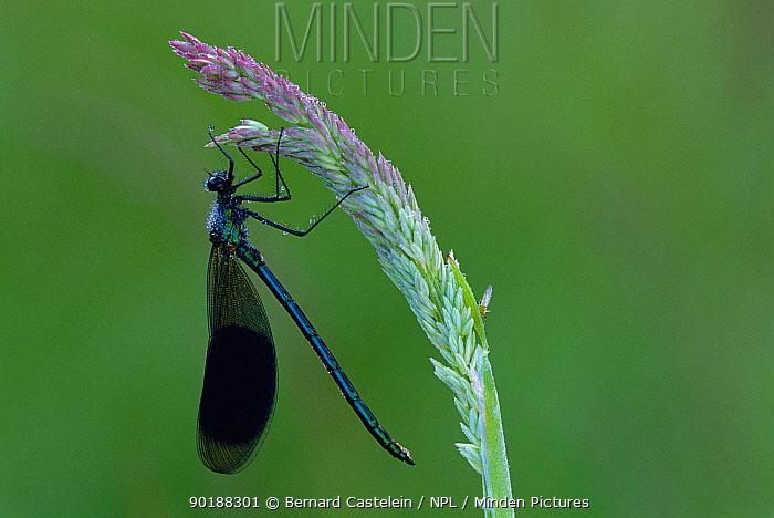 Banded demoiselle male (Calopteryx splendens) Belgium  -  Bernard Castelein/ npl