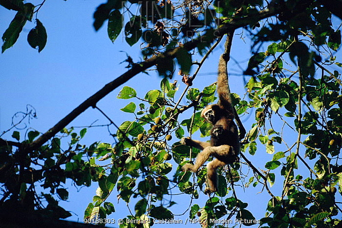 White browed gibbon female carrying young (Hylobates hoolock) in tree, Panbari forest, Assam, India  -  Bernard Castelein/ npl