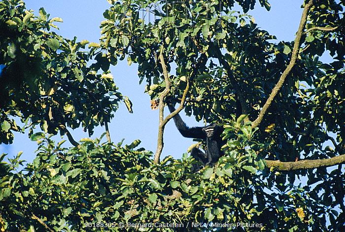 White browed gibbon male in tree (Hylobates hoolock) Panbari forest, Assam, India  -  Bernard Castelein/ npl