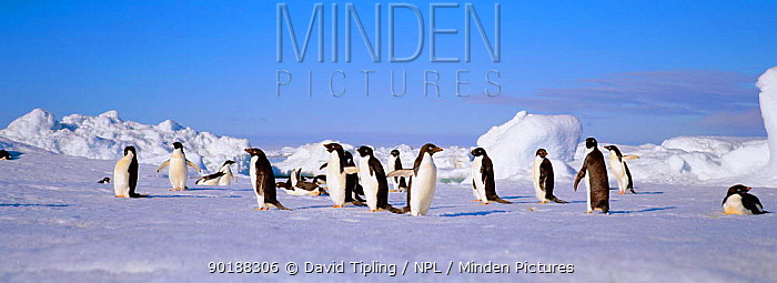 Adelie penguins on iceberg (Pygoscelis adeliae) Paulet Island, Antarctica  -  David Tipling/ npl
