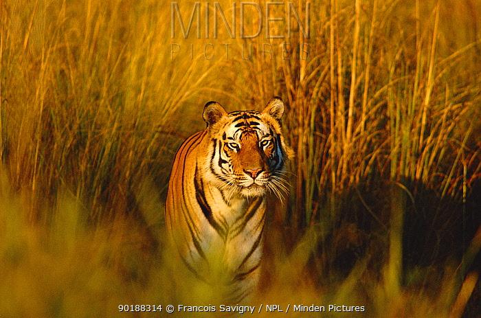 Bengal tiger portrait (Panthera tigris tigris) Bandhavgarh NP, Madhya Pradesh, India  -  Francois Savigny/ npl