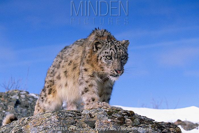 Snow leopard (Panthera uncia) captive  -  Francois Savigny/ npl