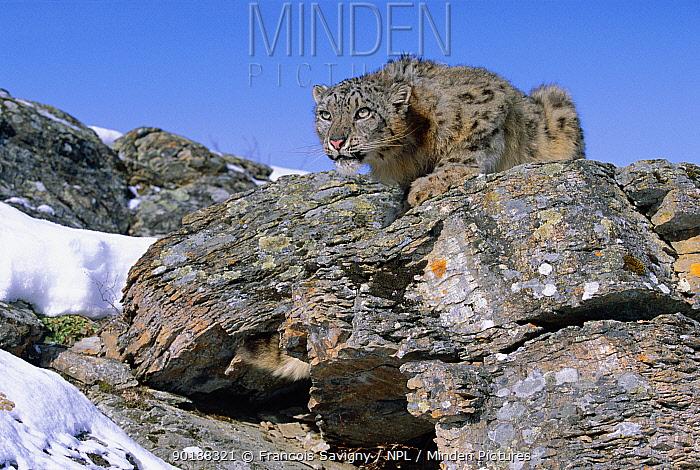 Snow leopard crouching on rocks (Panthera uncia) captive  -  Francois Savigny/ npl