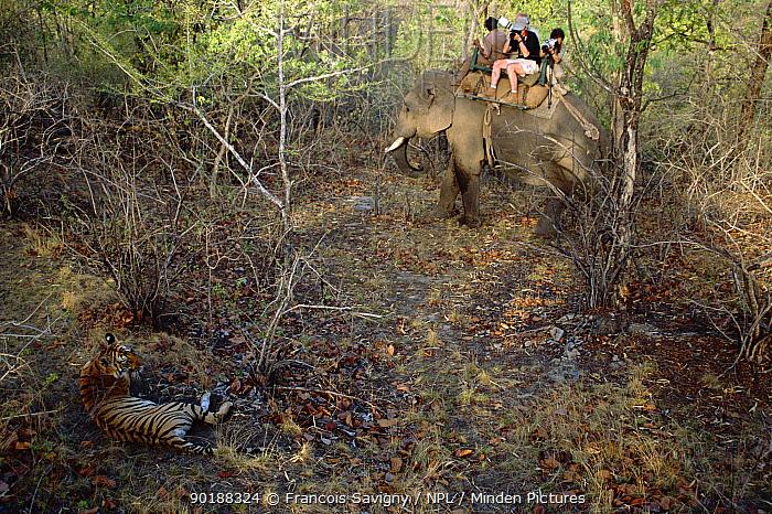 People watching Bengal tiger from elephant back (Panthera tigris tigris) Bandhavgarh NP Madhya Pradesh India  -  Francois Savigny/ npl