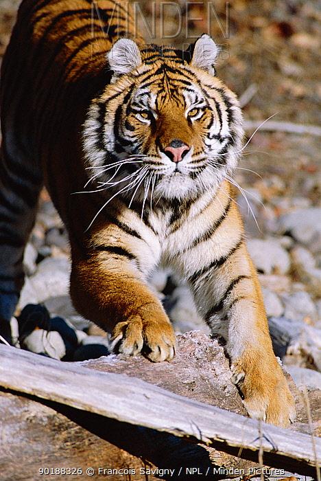 Siberian tiger stretching (Panthera tigris altaica)  -  Francois Savigny/ npl