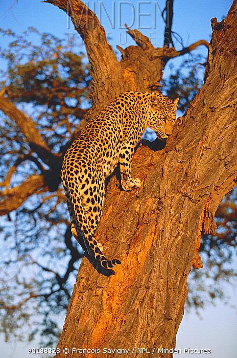 Leopard climbing up tree (Panthera pardus) Kalahari National Park, Botswana  -  Francois Savigny/ npl