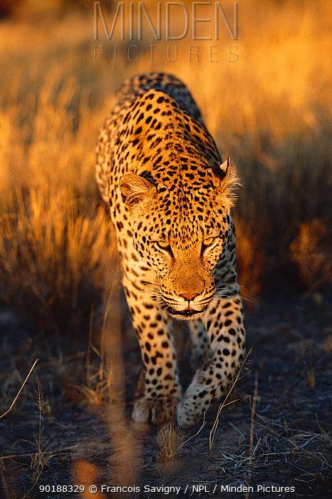 Leopard walking head on (Panthera pardus) Kalahari National Park, Botswana  -  Francois Savigny/ npl