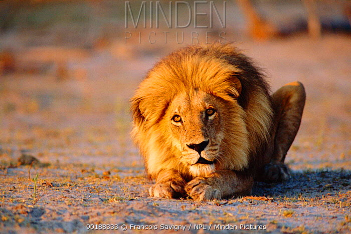 Male lion crouching on ground (Panthera leo) Southern Africa,  -  Francois Savigny/ npl