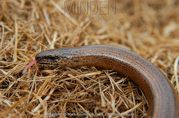 Slow worm sensing air with tongue (Anguis fragilis) England, UK, Europe  -  Mark Payne-Gill/ npl
