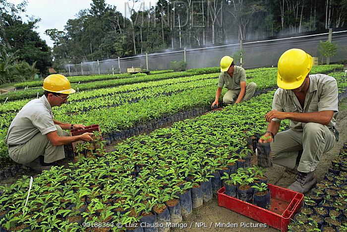 Production of seedlings of tropical trees, Linhares FR, Espirito Santo, Brazil  -  Luiz Claudio Marigo/ npl
