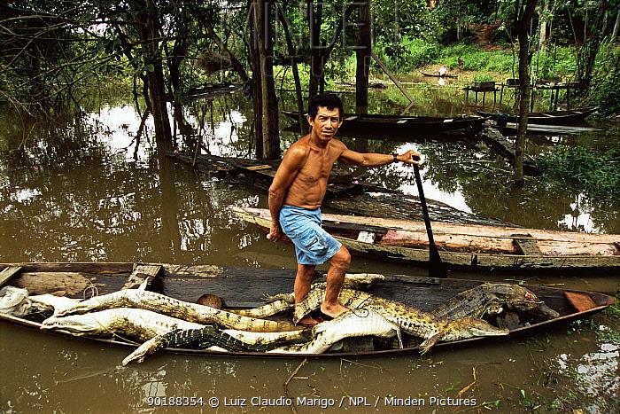 Caiman (Caiman crocodilus) killed for subsistence food, Piagacu Purus Res, Brazil  -  Luiz Claudio Marigo/ npl