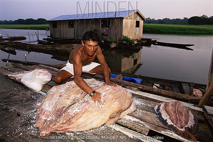 Preparing Arapaima fish (Arapaima gigas) for market Japura river, Amazonas, Brazil  -  Luiz Claudio Marigo/ npl